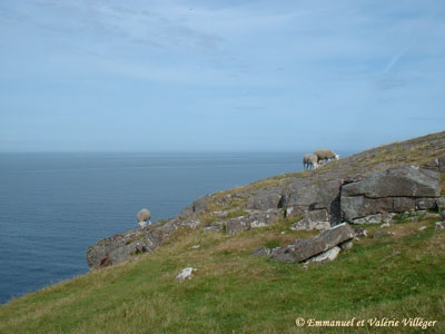 Sheeps grazing on the point of Stoer